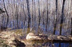 Paisaje temprano del bosque de la primavera con agua Foto de archivo libre de regalías