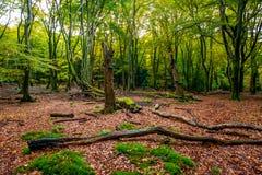 Paisaje temprano del bosque del otoño con las hojas caidas Foto de archivo