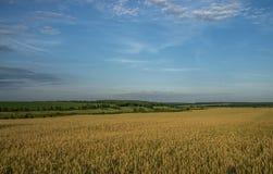 Paisaje, un campo del trigo maduro en un fondo del bosque y cielo azul con las nubes de cúmulo fotos de archivo libres de regalías