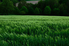 Paisaje verde de la primavera del campo de trigo Fotografía de archivo libre de regalías