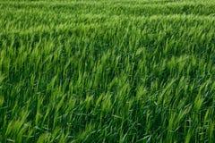 Paisaje verde de la primavera del campo de trigo Imagen de archivo libre de regalías