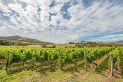 Paisaje verde del viñedo Foto de archivo