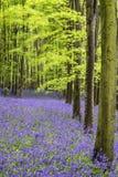 Paisaje vibrante del bosque de la primavera de la alfombra de la campanilla foto de archivo