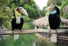 Pait toucans, птица-носорог Стоковые Фотографии RF