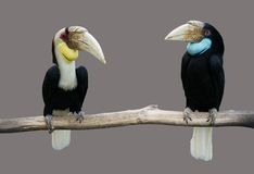 Pait toucans, птица-носорог Стоковые Изображения RF