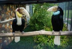 Pait toucans, птица-носорог Стоковые Фото