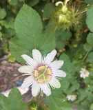Paixão para a florescência das flores brancas fotografia de stock royalty free
