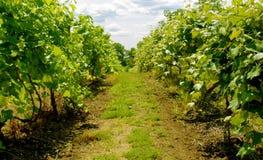 Paixão para o vinho Imagens de Stock Royalty Free