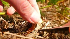 Paixão para recolher cogumelos A mão com faca irregular cortou o cogumelo na terra da floresta As mãos com cuidado cortam, limpam vídeos de arquivo