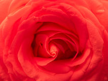 Paixão vermelha de Rosa Fotos de Stock Royalty Free