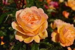 Paix Rose Photos libres de droits