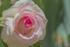 Paix Rose de rose en pastel Images stock