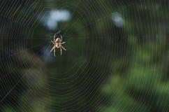 Pająk na pajęczynie w oczekiwaniu na jedzenie 1 zdjęcie royalty free