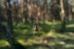 Pająk na sieci w Curonian Pluje parka narodowego obraz royalty free