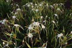 Pająków lillies obraz stock