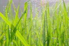 Pająków ryż Obraz Royalty Free