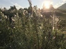 Pająków ziele na wschodzie słońca i sieci zdjęcie stock