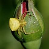 pająk żółty Fotografia Stock