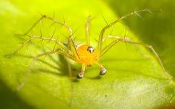 pająk żółty Zdjęcia Royalty Free