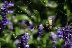 pająk żółty Obrazy Royalty Free
