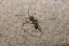 Pająk żeruje insekt Zdjęcia Stock