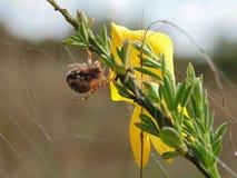Paj?k Araneidae Alcupeira Ceropegia zdjęcie stock
