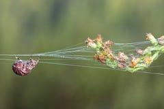 pająk jedwabnicza nić Zdjęcie Stock