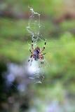 pająk jego sieć Fotografia Royalty Free