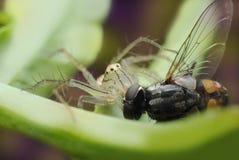 Pająk jest chwyta komarnicą Je zdjęcie stock