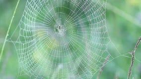Pająk jest usytuowanym na spiderweb z wodnymi kroplami zbiory wideo