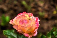 Pająk Kwiatu płatek Zdjęcie Royalty Free