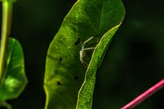 Pająk Liść roślina Zdjęcie Stock