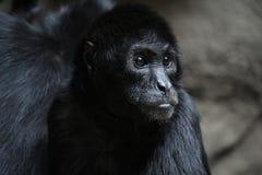 Pająk małpa fotografia stock