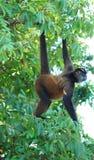 Pająk małpa Obraz Stock