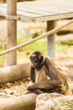 Pająk małpa Obraz Royalty Free
