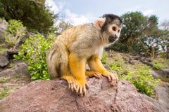 Pająk małpa zdjęcie royalty free