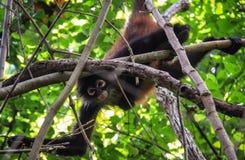 Pająk małpa, Corcovado park, Costa Rica Zdjęcia Royalty Free