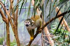 Pająk małpa przy popołudniem Obrazy Stock