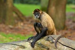 Pająk małpa siedzi na drzewnym bagażniku fotografia stock