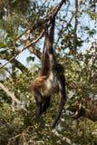 Pająk małpa w Belize obraz stock
