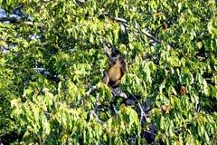 Pająk małpy genus Ateles Zdjęcia Royalty Free