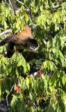 Pająk małpy genus Ateles Fotografia Royalty Free
