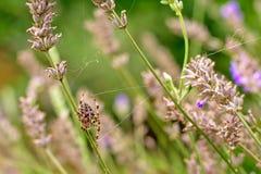 Pająk między przekwitłymi kwiatami Obraz Royalty Free