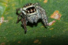 Pająk na drzewnym liściu, makro- pająk w naturze zdjęcia royalty free