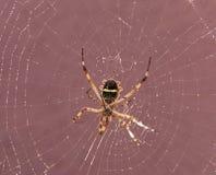 Pająk na pajęczynie Obraz Stock
