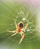 Pająk na pajęczynie obrazy stock