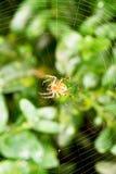 Pająk na pajęczynie nad buxus liśćmi Obraz Stock
