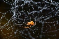 Pająk na pajęczynie po deszczu Zdjęcie Royalty Free