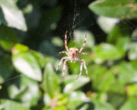 Pająk na sieć pająku na sieci na zewnątrz Europejskiego Ogrodowego pająka lub C obraz royalty free