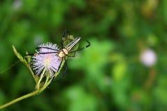 Pająk na wyczulonej lub śpiącej roślinie w ogródzie Zdjęcie Royalty Free